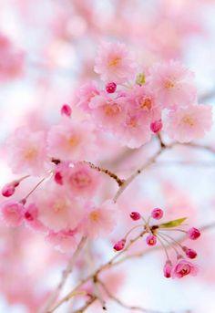 Sakura ❀