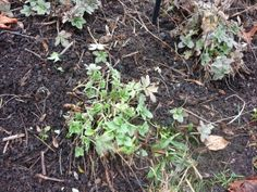 If you remove the dead growth from your herbaceous borders, you'll see the new growth revealed.