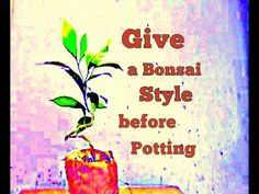 How to Give a bonsai style before potting || Crape jasmine || East India...
