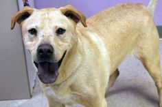 Charlie: Retriever beauty is out of time at high-kill upstate shelter