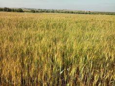 Bint Al Atlas : A wheat filed in Morocco - Spring 2015 http://bintalatlas.blogspot.com/2015/07/a-wheat-filed-in-morocco-spring-2015.html