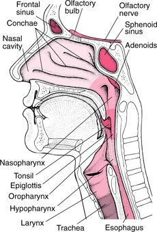 Ear, Nose and Throat Models: They are all part of your upper ...