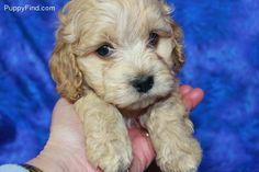 I WANT THIS PUPPY!!!!!! cutest little cockapoo!!!