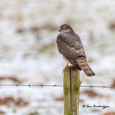 Sperwer, Sparrowhawk, Accipiter nisus
