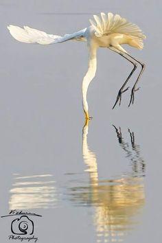 Great Egret (Ardea alba) in India by Vishesh Kamboj. World Birds, All Birds, Birds Of Prey, Pretty Birds, Beautiful Birds, Animals And Pets, Cute Animals, Colorful Birds, Wildlife Photography