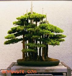 BonsaiSite.com: Selection of forest-style plantings #2.