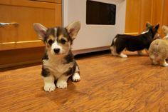 Corgi pup face and corgie butts! :)