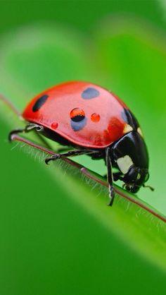 Ladybug #animals #insect