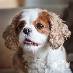 ... session with Cavalier King Charles Spaniel Chilli several times