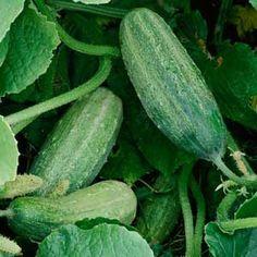 organicgardening cucumbers