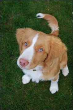 Brodie the Nova Scotia Duck Tolling Retriever