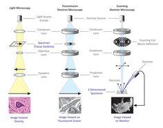 Light Microscope and Electron Microscope