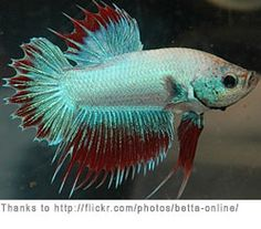 Fwbettashm1424865029 dumbo red copper hm male aa308 for How big can a betta fish get