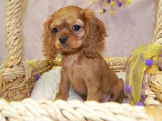 Toy English/Cavalier King Charles  Fairwood Pet Center, from our home to yours, puppies & so much more!   425-271-9344  www.fairwoodpetcenter.com  Follow us on Facebook & Twitter, @FairwoodPets