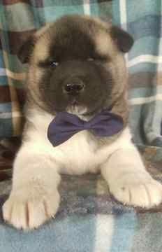 Akita Puppy For Sale In Honey Brook Pa Adn 69518 On Puppyfinder