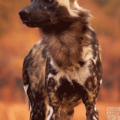 Surely Painted Wolves Deserve To Hold Their Place Alongside The Great Hunters Of The African Plain Dynastiespa African Wild Dog Wild Dogs Endangered Animals