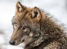 Il repartbredouille d'une chasse au loup mais écope d'un an de prison