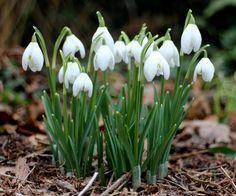 Galanthus nivalis - Snowdrops - Bucaneve