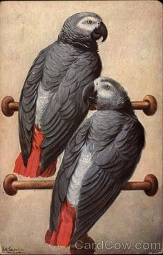 African Grey Parrots postcard from an 1834 collection.