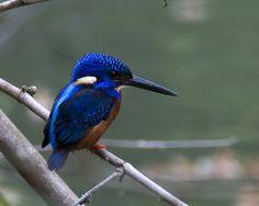 Resultado de imagem para blue headed kingfisher bird