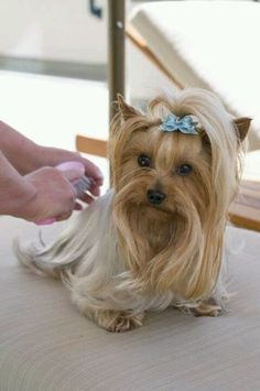 All About The Feisty Yorkshire Terrier Puppies Size Yorshire Terrier, Terrier Dog Breeds, Silky Terrier, Yorkies, Yorkie Puppy, Toy Yorkshire Terrier, Yorkshire Terrier Haircut, Schnauzers, Shih Tzu