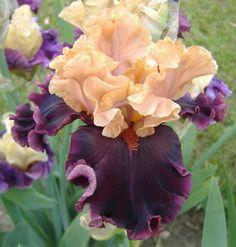 TB Iris germanica 'Toronto' (Johnson, 2011)