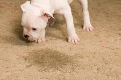 How to Remove Pet Urine Stains from Carpet http://peoplelovinganimals.com/how-to-remove-pet-urine-stains-from-carpet