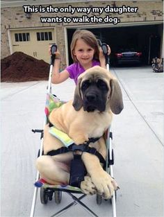 @Chelsea Rose Price @Nicole Novembrino Jackson Guess Dezi might need a mastiff after all..I mean how cute would she be pushing one in a stroller