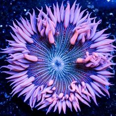 Pink Zebra Rock Flower Anemone from Aqua Scapers($89)