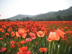 Poppies in Provence! la_provence_en_ce_moment