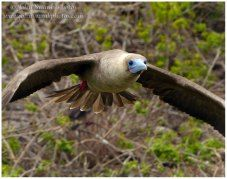 Red-footed boobies on Genovesa Island, Galapagos | johnswankphotoblog
