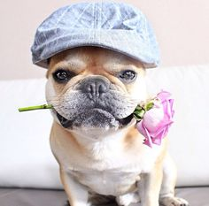 'I Love You', French Bulldog with a Rose and Cap.