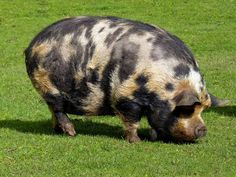 Calico pig!