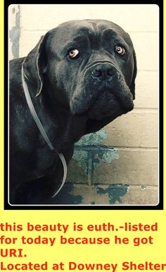 SAVE THIS MASTIFF!  EUTH LISTED FOR TOMORROW! RESCUE ONLY BECAUSE HE HAS A URI AND THEY DID NOT DO A TEMP TEST! HAS $548 PLEDGED  MASTIFF NEEDS PLEDGES AND RESCUE! Has moderate hip dysplasia and limps on his right rear leg. He weighs 91 lbs. PAST DUE OUT DATE!  A4798777 https://www.facebook.com/photo.php?fbid=826160550797612&set=pb.100002110236304.-2207520000.1425401624.&type=3&theater
