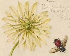 Black Cumins and Insect (detail), Joris Hoefnagel, Georg Bocskay, 1591-96, script 1561-62