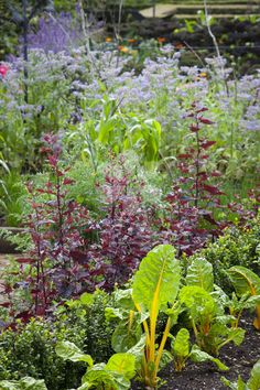 Atriplex hortensis is delicious in salad but also looks great left to grow in the garden as an ornamental plant.
