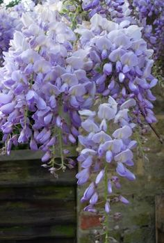 Wisteria (ten Species In Wisteria Genus) Is Native To Japan, China And  Korea (also The US).