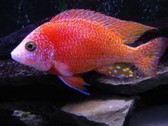 Dragons Blood Peacock (Aulonocara sp.)