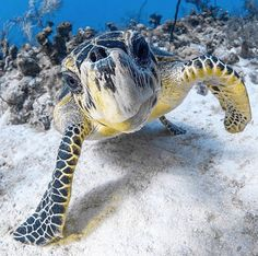 The Galapagos Tortoise Fact Sheet Beautiful Sea Creatures, Animals Beautiful, Cute Animals, Cute Turtles, Baby Turtles, Sea Turtles, Sea Turtle Wallpaper, Turtle Life, Fauna Marina