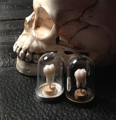 Deluxe Quality Real Human Molar Specimen Display in Glass Bell Dome by BoneLust on Etsy