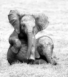 Elefanten sind in der Lage, menschliche Gesten korrekt zu interpretieren. Dabei stellen sich Elefanten um einiges geschickter an als zum Beispiel Hunde, die immerhin als Meister darin gelten, menschliche Mimik zu interpretieren und zu entschlüsseln.
