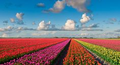 Rhine in The Netherlands and Belgium   Where windmills and Tulips play