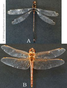 Compare and contrast: Telling the difference between dragonflies and damselflies.