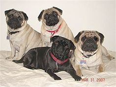 Pugs are the best tempered dog I have ever found. They love children, other animals (cats, dogs, birds, etc.), are smart, adorable, and really get into your heart. Only down sides are shedding (even though short-haired), eye & skin problems, and breathing problems possible. They even have apricot, silver, and white pugs besides the tan and black. Great lap dog with very little exercise needed.