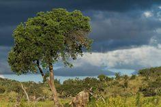 Er valt nog wat zonlicht op de boom maar weldra overvalt een bui ook ons. Geweldige fotomomenten zijn dat. #photography #travelphotography #traveller #canon #canonnederland #canon_photos #fotocursus #fotoreis #travelblog #reizen #reisjournalist #travelwriter#fotoworkshop #willemlaros.nl #reisfotografie #landschapsfotografie #natuurfotografie #nature #africa #southafrica