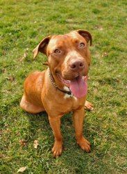 Rufus is an adoptable Pit Bull Terrier Dog in Milwaukee, WI. Meet Rufus! He's a 1-year-old, Pit Bull and Lab mix. Rufus is very well-behaved and loves to play with his foster brothers (dogs and cats)....