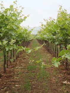Vineyard in Napa California
