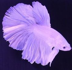 Betta Breeders White Halfmoon Pair Male and Female Live Fish