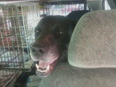 Dunkin is a handsome ~6-7 year old mostly black lab in urgent need of a new home because his owner had surgery and couldn't take care of her dogs anymore. He is a friendly social boy who lived peacefully with dogs of all sizes. He's in great shape...