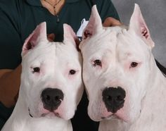 Dogo Argentino or Argentine Mastiff. Originally breed to hunt jaguars, their white coats reflect the heat of the sun.